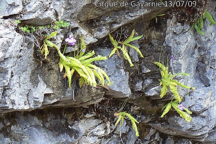 Pinguicula longifolia subsp