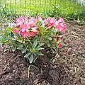 Premières fleurs dans le massif des vivaces