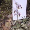 Mes orchidées 2