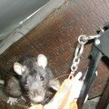 rama, la ratte accro-ratte rat-raignee et chipie