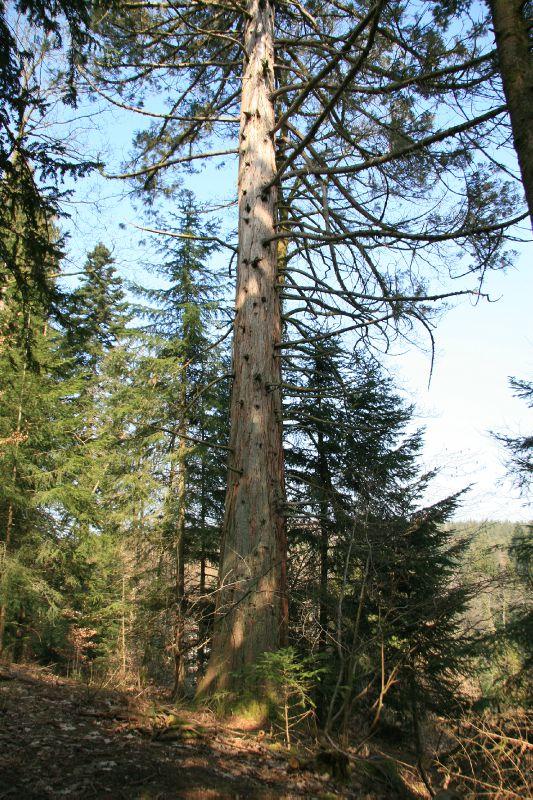 IMG_3293 Séquoia