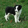 border_collie_chiot