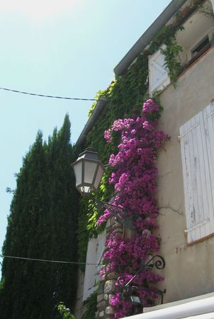 bougainvilliers 2