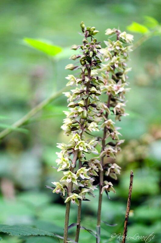 Epipactis violacé - Epipactis purpurata (5)
