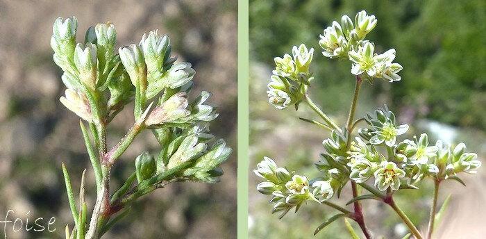 bractées ne dépassant pas l'inflorescence sépales vertes largement bordées de blanc