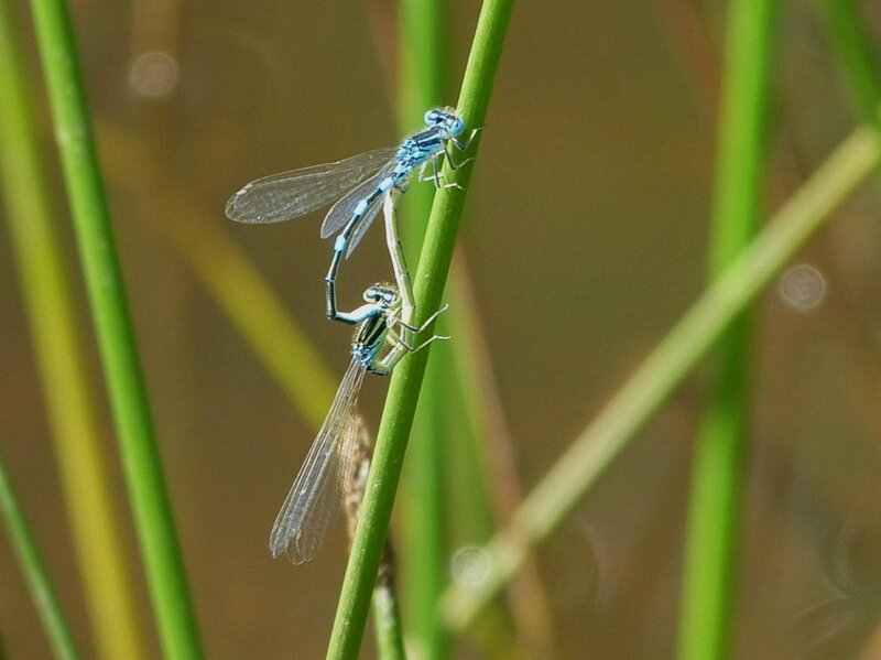 agrion ....accouplement
