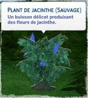 jacinthe sauvage