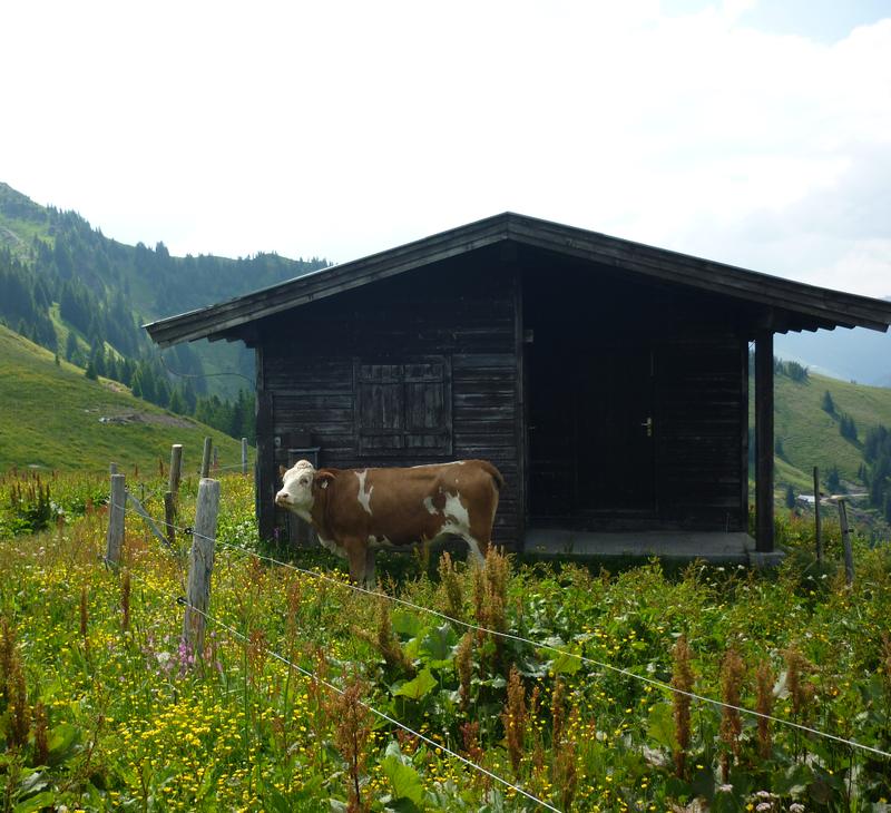 vache pediluve