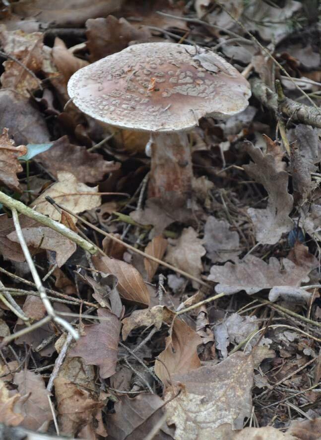 Amanita rubescens (3)