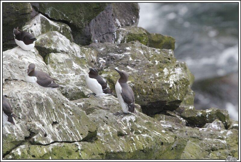 Guillemots de Troïl et Pingouins torda