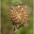 Phanéroptère méridional : phaneroptera nana