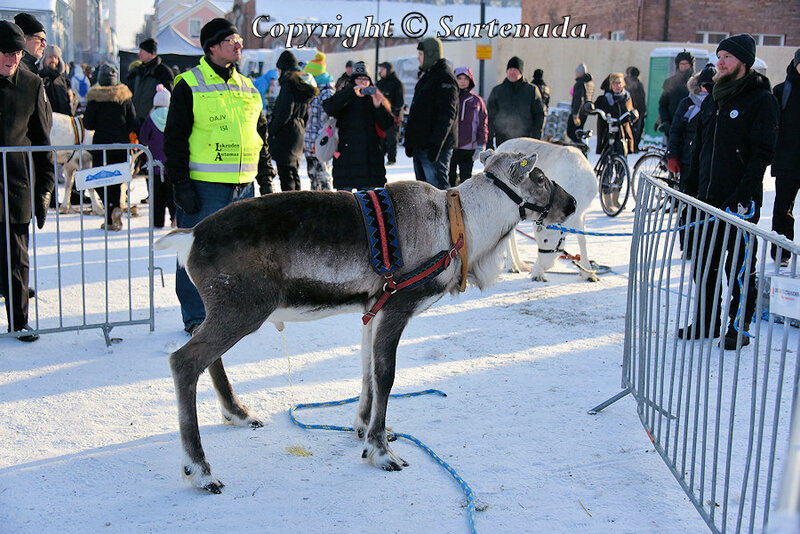 reindeer_rides_for_families_oulu_-38