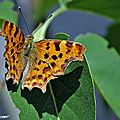 Robert le Diable • Polygonia-c-album • Nymphalidae