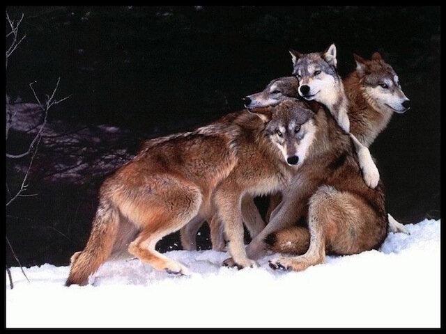 loups_hiver