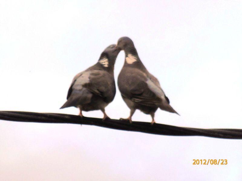 Les tourterelles