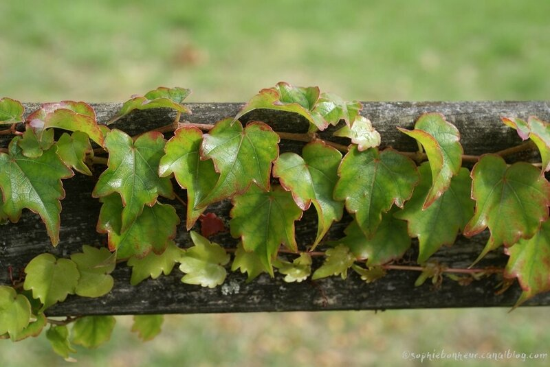 automne vigne