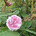 rosa centifolia muscosa *