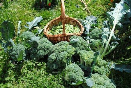 4kg de brocolis