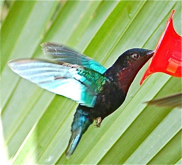 kolibrij