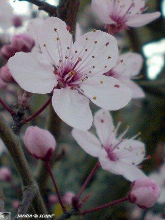 Prunus_fleur_gros_plan