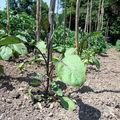 Plants d'aubergines