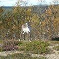 Encore un renne !