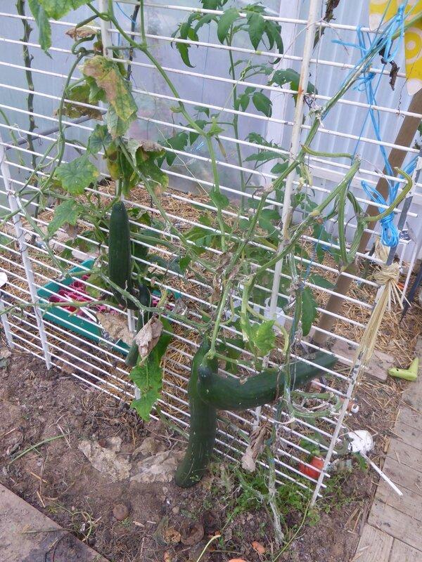 15-concombre (1)