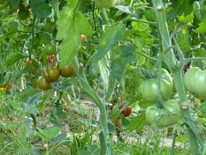 3-tomates (2)