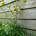 Kerria japonica, hourra !