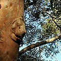 eucalyptus rouge