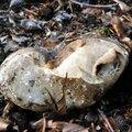 Russula nigricans (4)