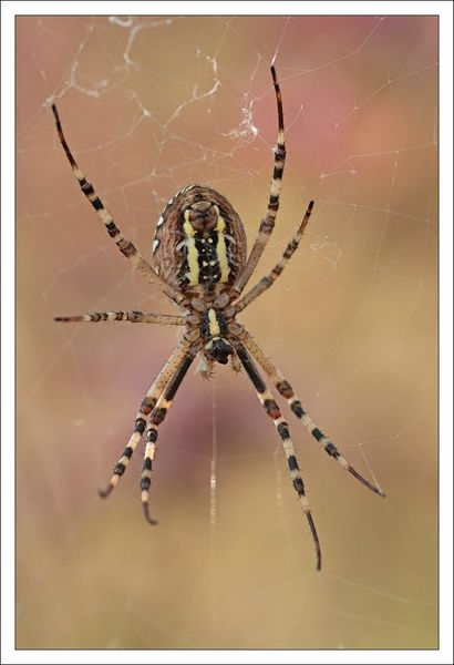 plaine epeire argiope fond rose 150812