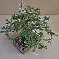 Taxus baccata #1 : orson.