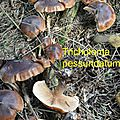 Tricholoma pessundatum