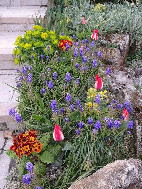tulipes pinocchio fleuries dans le massif de l escalier