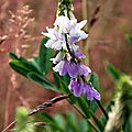 Lilas d'Espagne (Galega officinalis)