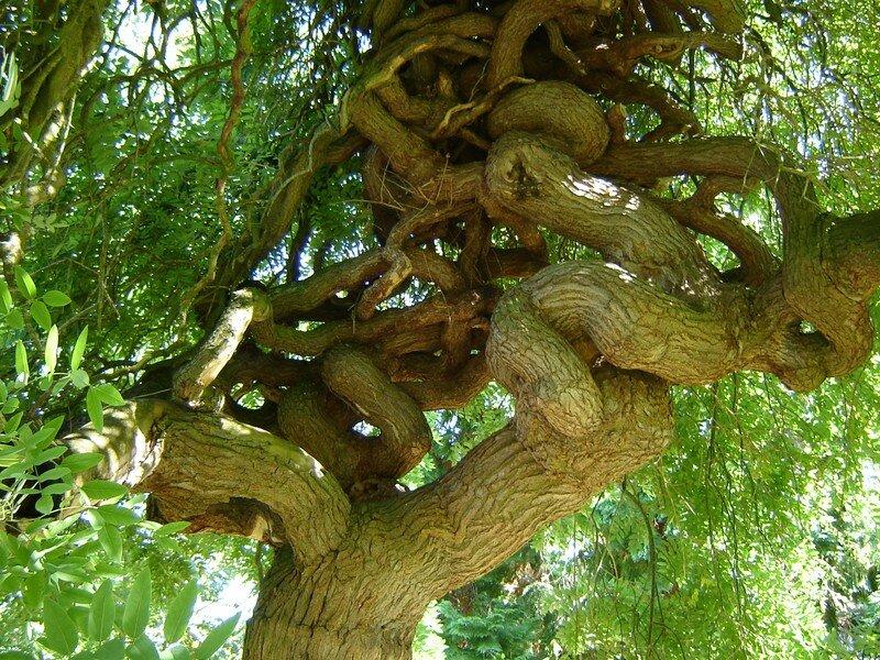 Le tronc noueux du même sophora BRUNOY