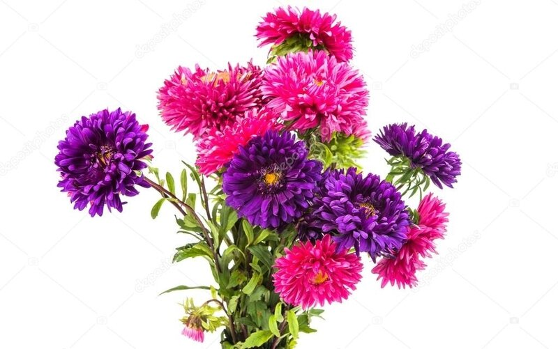 depositphotos_104420068-stock-photo-a-bouquet-of-asters-isolated