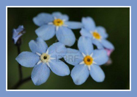 13854052-gros-plan-sur-quatre-forget-me-not-myosotis-mise-au-point-des-fleurs-sur-la-fleur-sur-la-gauche[1]