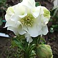 Helleborus x hybridus 'mrs betty ranicar'