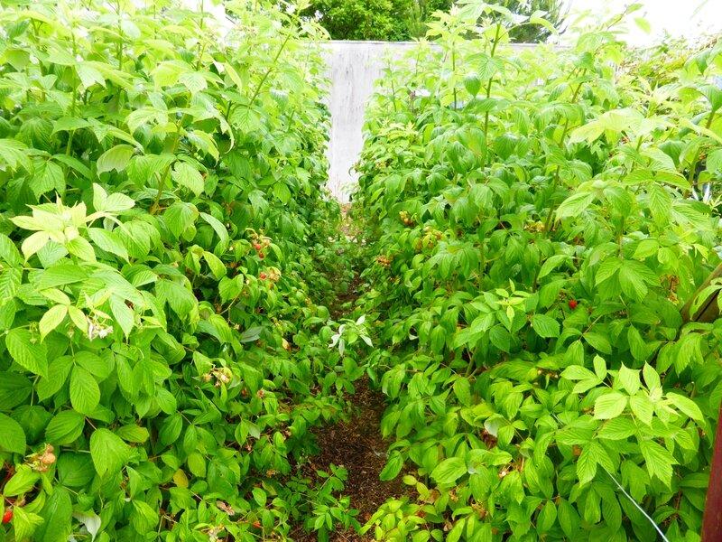 23-jardin ouest-framboisiers (2)