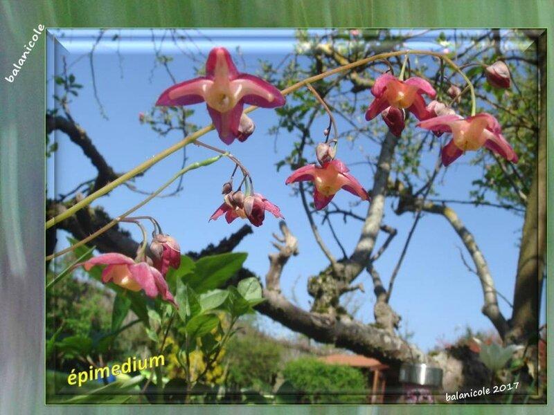 balanicole_2017_06_le printemps des vivaces 02_17_épimedium2