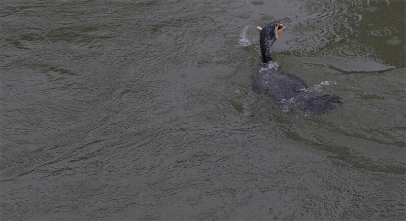 oiseau cormoran poisson pluie 1 120221