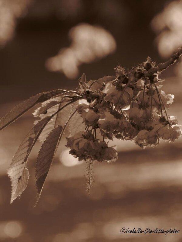 cerisier sepia3