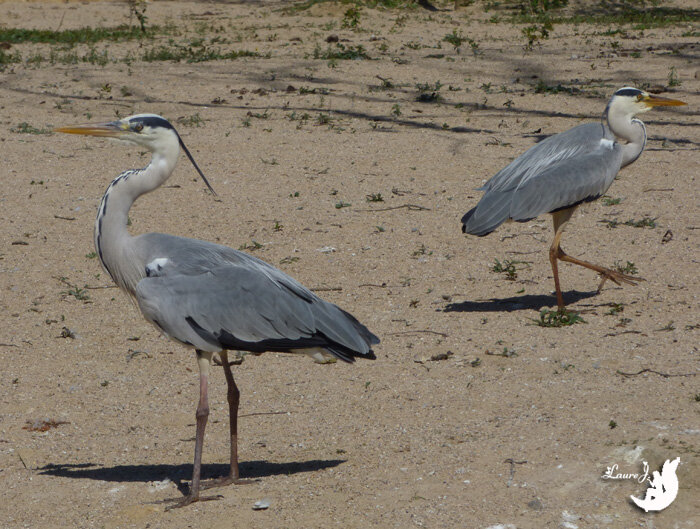 HERONS CENDRES