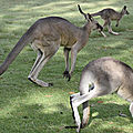Fragment 6 : kangourou