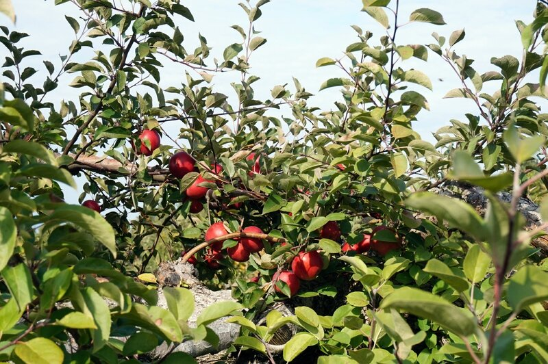 ApplePicking (5)