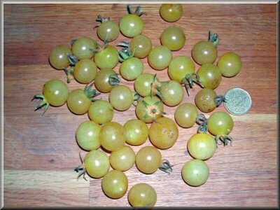 5- tomate cerise bianca cherry - www.passionpotager.canalblog.com