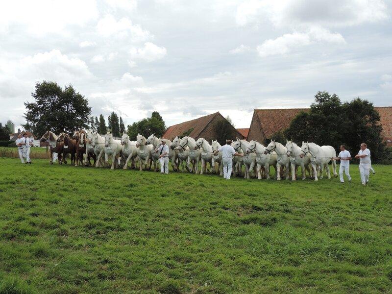 Exceptionnelle bande de 22 juments des Elevage du Boncoin (Christophe Debruyne) et du Marais (Philippe Mequinion) - 23 Juillet 2017 - National Boulonnais