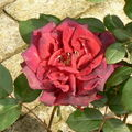 rose Eliane